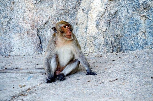 monkey makakan