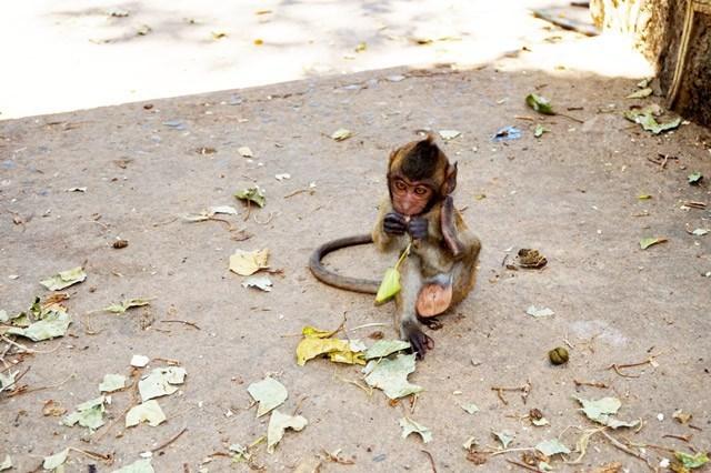 monkey thailand